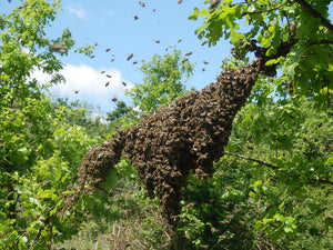 Bee Swarm Time of Year