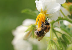 Bee with Potato Blossoms