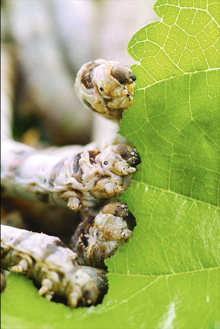 silkworm's eating mulberry leaf