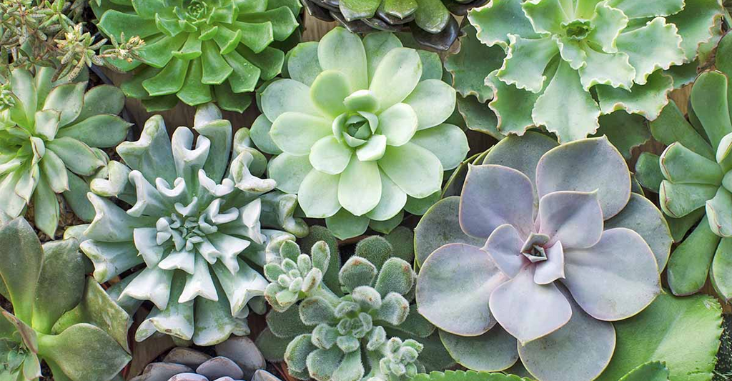 succulents that can be grown indoors