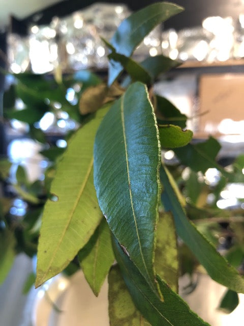 Easy Lemon Myrtle bush medicine to make at home
