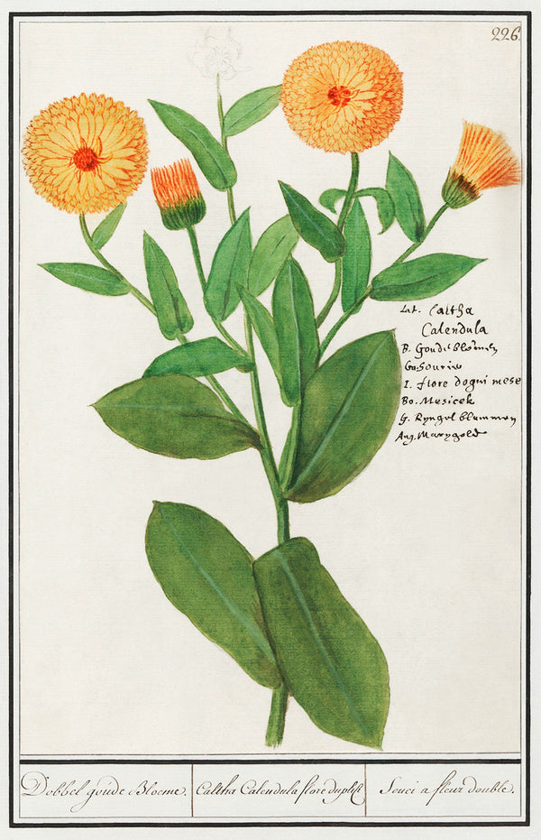 How much we love Calendula for healing