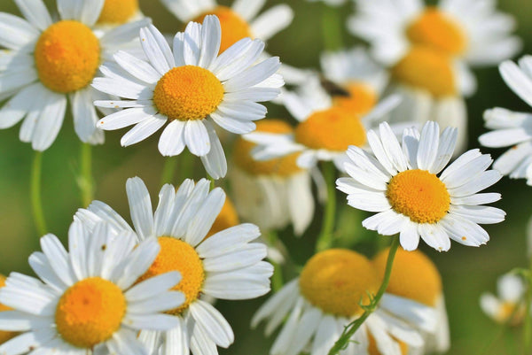 Soothing Chamomile.... our herb of pure calm!