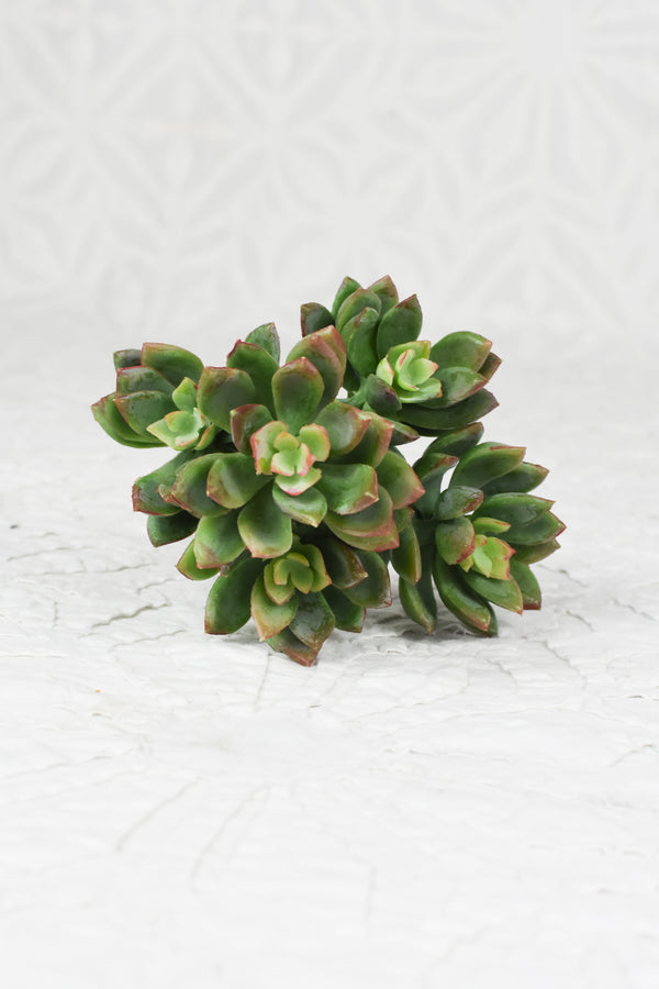 Mini Echeveria Bundle