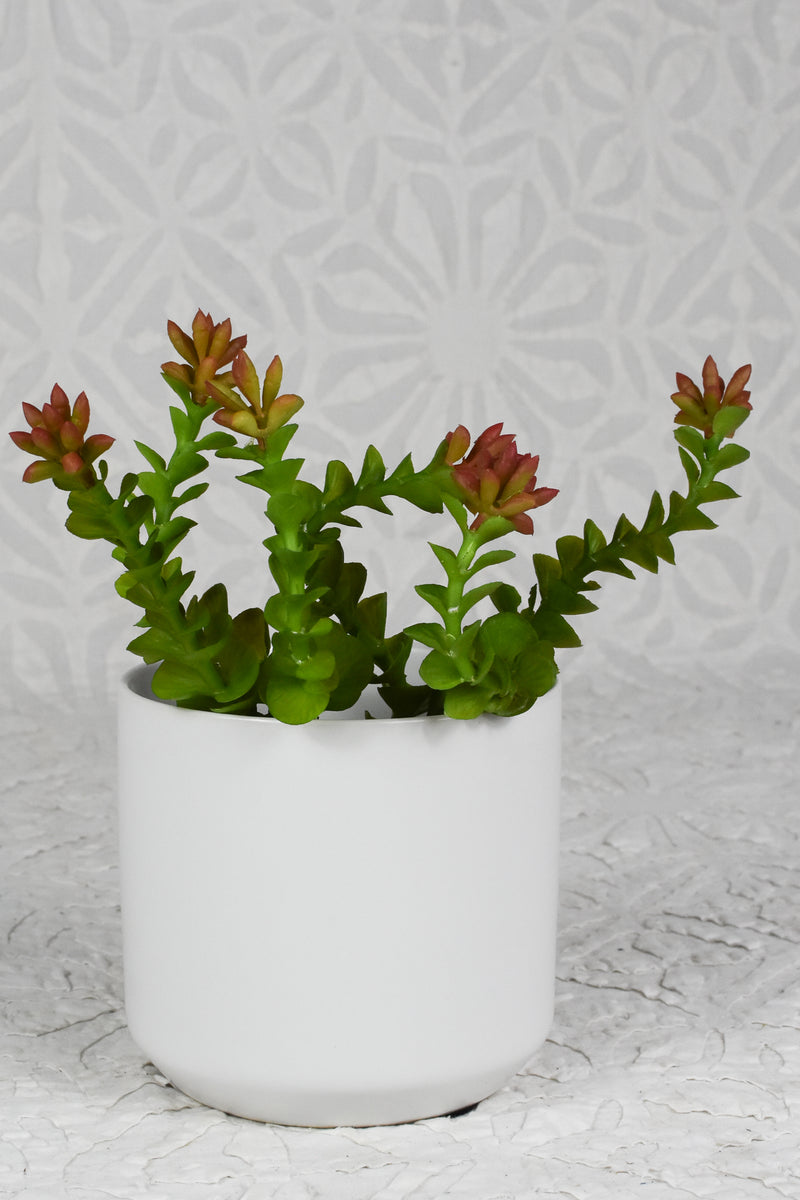 Crassula Pick