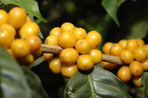 Brazilian Finca Passeio Yellow Bourbon