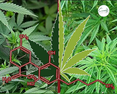 Sativa Vs. Indica, here is the difference, what do you prefer?