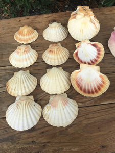 Pretty Collection of Scallop Shells for Crafting or Decoration