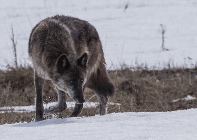 Wolves and the Yellowstone Ecosystem