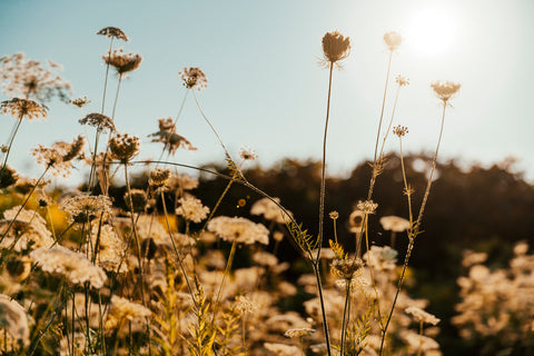 A field of daisies in the sunshine