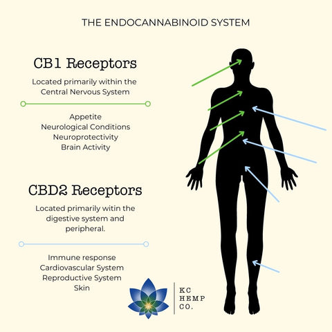 Endocannabinoid System- How Does CBD Work?