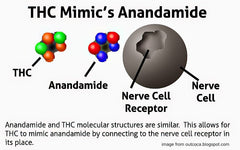 thc and anandamide