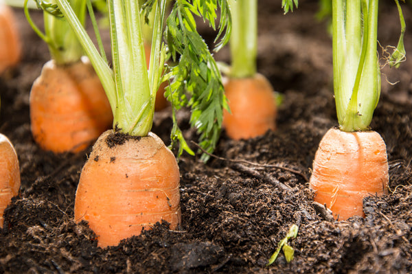 These carrots are surrounded by soil-based organisms, SBO's and probiotic bacteria