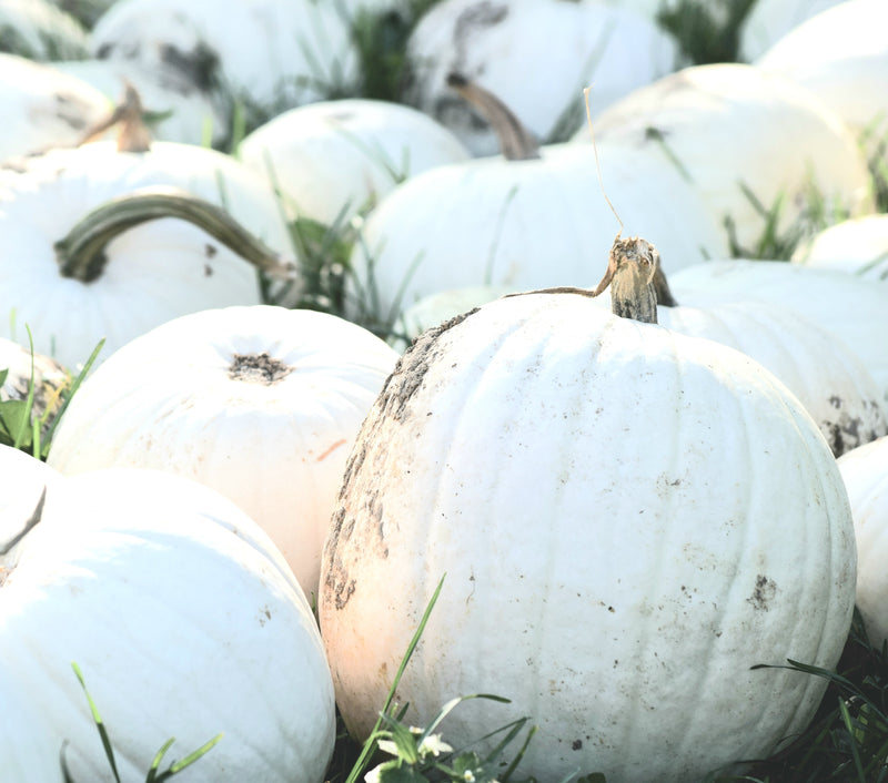 Field of white pumpkins