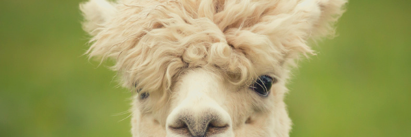 A cream colored alpaca face staring down the viewer with a mop of unruly hair on his head.