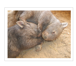Pinki a gentle wombat  dec 2016- nov 2018