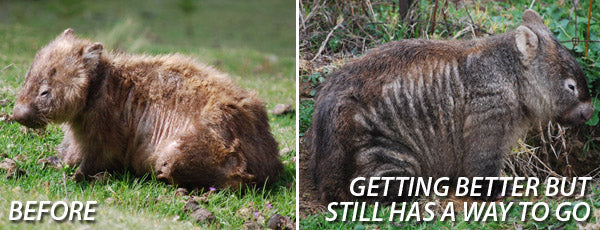 (left) Wombat with mange — (right) Wombat with mange after treatment, getting better but still has a way to go