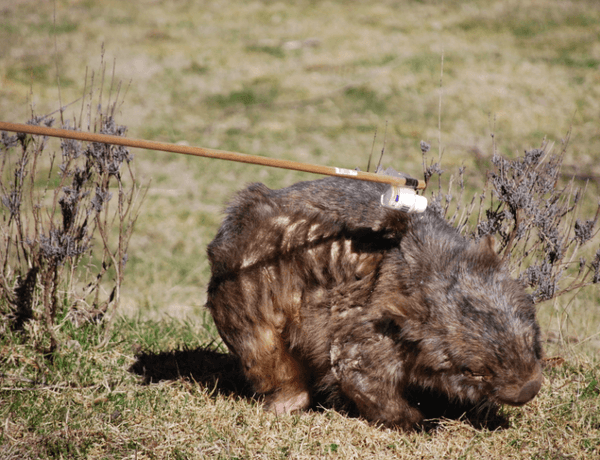 Creep up downwind of the wombat and pour the treatment onto the back of the neck. He will probably scamper off, watch as this might lead you to his burrow.