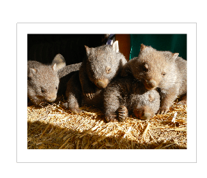 Rumble of wombats rocklilywombats