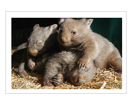 Calendar rumble of wombats No C1