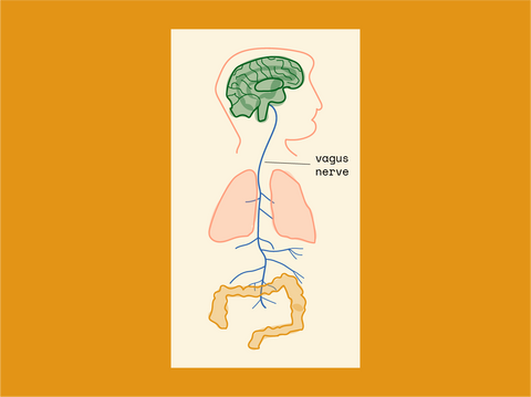 The Vagus Nerve: our favourite cranial nerve