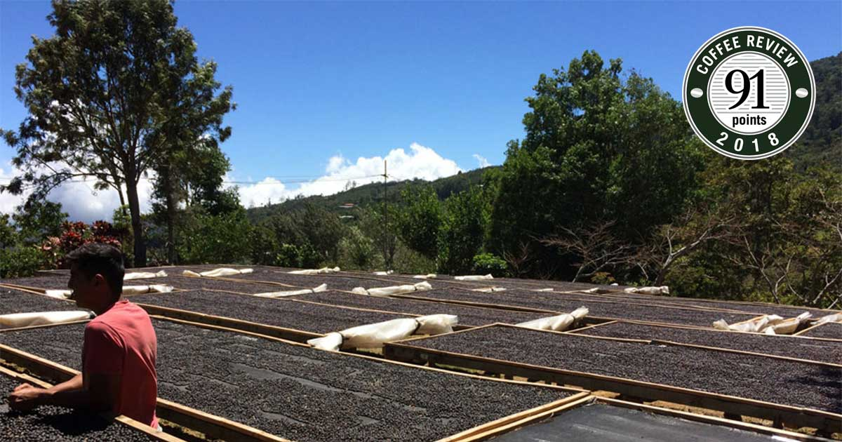 a person standing among coffee drying beds on a coffee farm. a