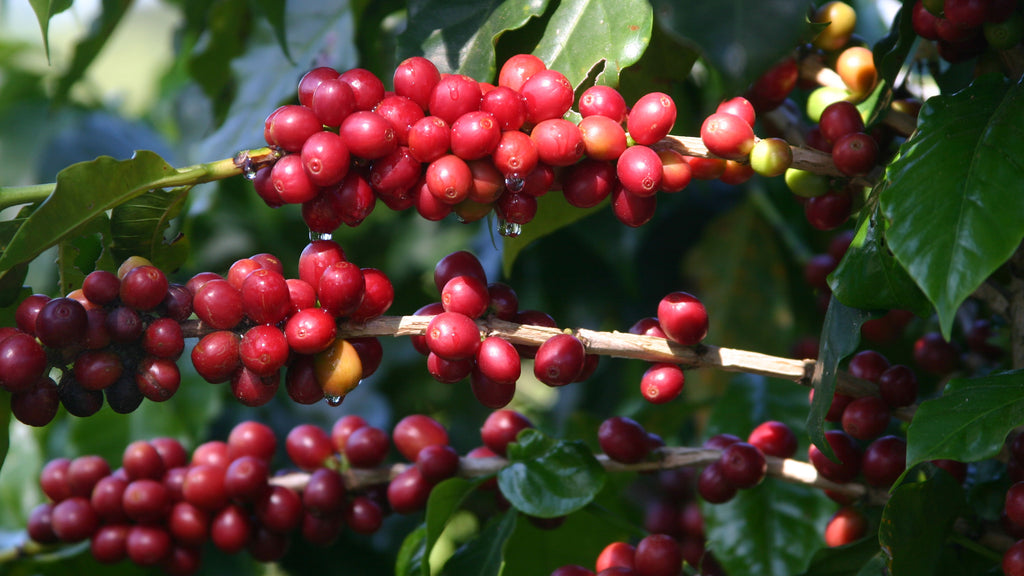 ripe coffee cherries on a coffee tree