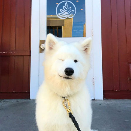 samoyed puppy winking in front of caffe luxxe country mart