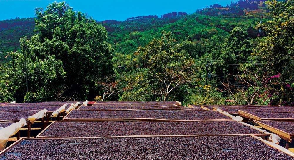 coffee drying beds filled with naturally processed coffees