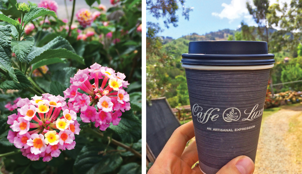 on the left, two bunches of pink flowers. on the right a caffe luxxe to-go cup