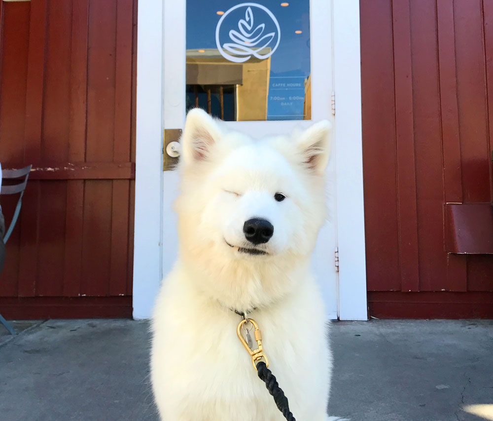 samoyed puppy smiling and winking in front of caffe luxxe