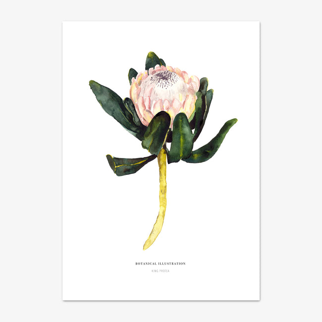 "Art Print ""King Protea"""
