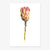 "Postkarte ""Red King Protea"""
