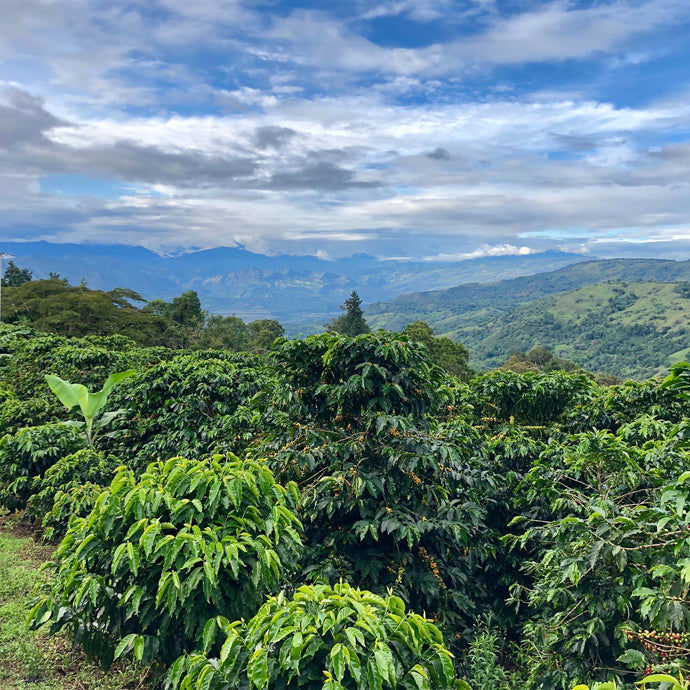Colombia - Bella Vista (De-caf)