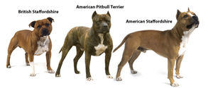 The different type of Pitbulls