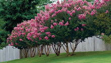 Pink Hopi Crepe Myrtle Bundle 25 Whole Seed Pods