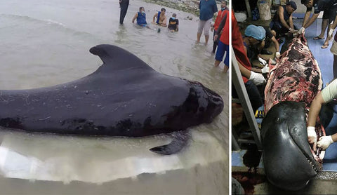 pilot whale dies with 80 plastic bags in stomach