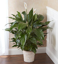 Load image into Gallery viewer, sympathy green plant, peace lily delivery, sympathy delivery, large spathiphyllum,
