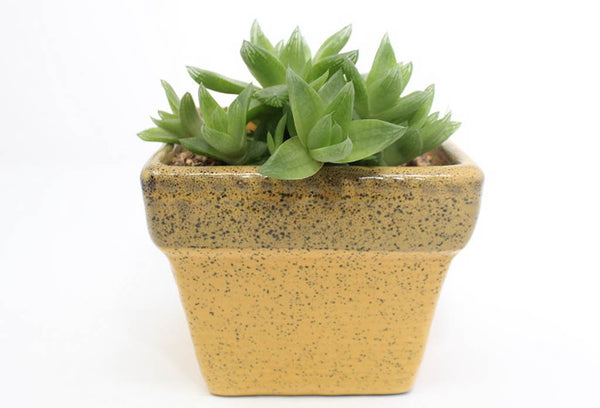 Howorthia Succulent In Ceramic Pot