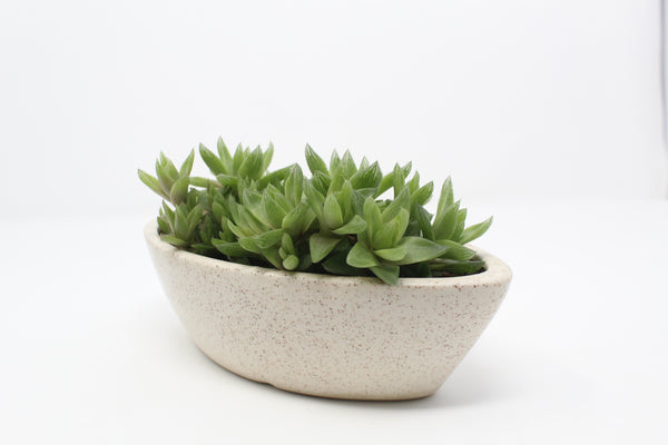 Haworthia Succulent In Ceramic Pot