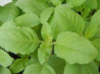Organic Holy Tulsi Leaves