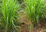Organic Lemon grass