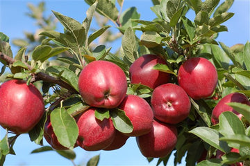Organic Apple - Red Royal Delicious