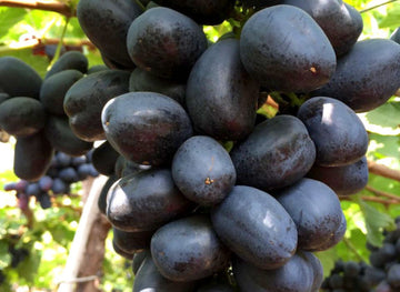 Organic Black Grapes (Nasik)