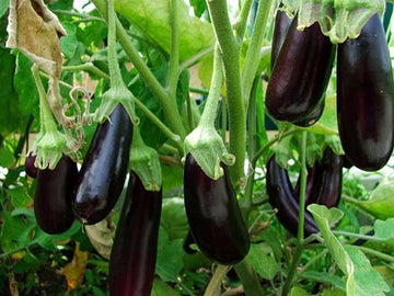 Organic Brinjal Purple Big