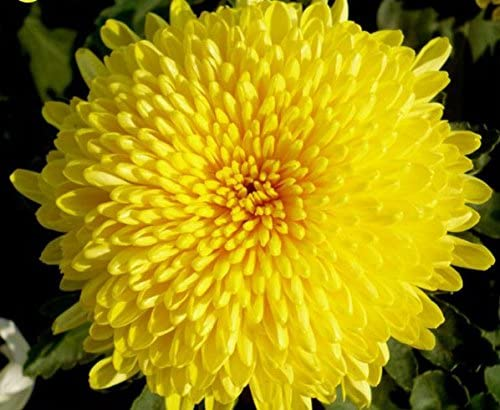 Organic Chrysanthemum Flower