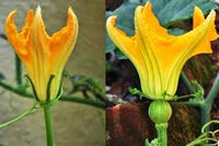 Organic Pumpkin Flower