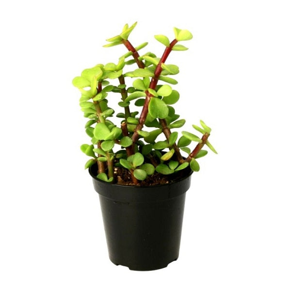 Elephant Bush (Jade)