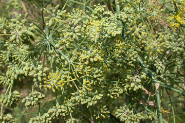 Organic Fresh Fennel Seeds