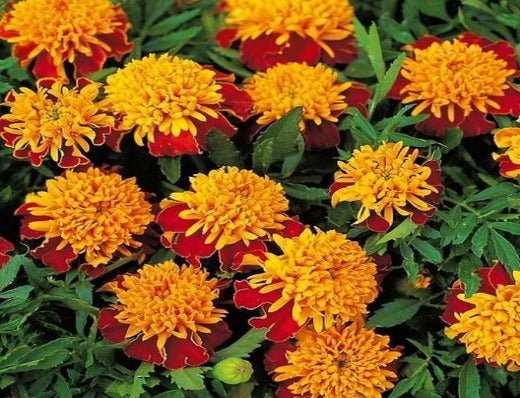 Organic French Marigold Flowers